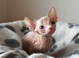 Tica Registered Sphynx kittens  For Rehoming