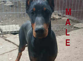 Doberman male pup with FCI pedigree.