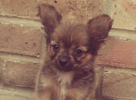 Stunning poochi puppies for sale