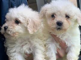 Gorgeous poochon puppies
