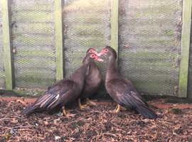 3x Chocolate Muscovy Ducks