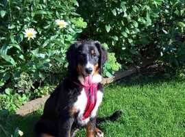 Good home wanted for a very loving, 4 month old female Bernese