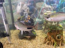Black spot barbs tropical fish