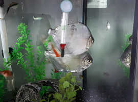Tropical fish free to established tank