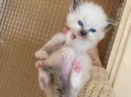 2 Left- Ragdoll kittens