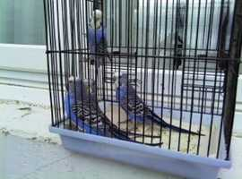 4 vilote budgies 1 pair there 2 yrears old and there 2 young ones there 14 weeks old