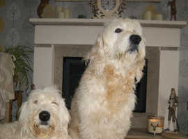 F2 GOLDEN DOODLE PUPPIES FOR SALE