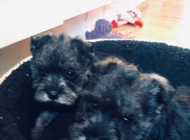 Schnauzer pups for sale