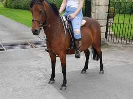 13hh pretty bay mare new forest