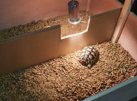 2x Spur thighed tortoises and full set up