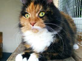 Long haired female cat