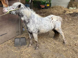 Beautiful 9yo Appaloosa Shetland mare