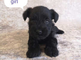 Miniature Schnauzer puppies kc regiestered