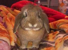 Lopped ear rabbit