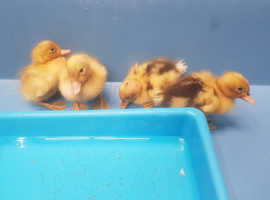 4 x Ancona ducklings - 4 days old
