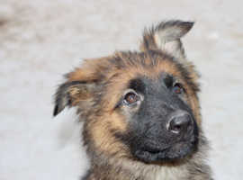 KC registered puppies ready to leave