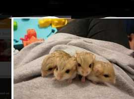 4 fat tailed gerbils