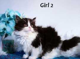 Hypoallergenic Siberian Kittens Ready for New Homes