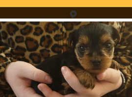 Miniature Biewer Yorkshire Terrier Puppies *REDUCED*