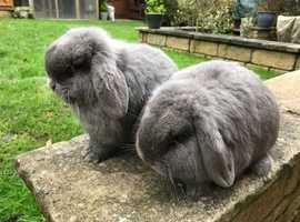 Beautiful Pair of Mini Lops For Sale