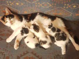 5 weeks cute half calico kittens