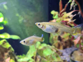 Adult Female Guppies and Endler's Guppies Hybrid for Sale!!