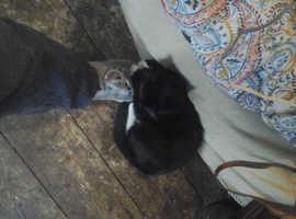 Black and White female kitten for sale