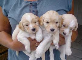 Cockapoo puppies  F1b
