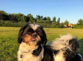 WANTED! 2nd shih tzu for mine to have a buddy.