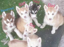 Gorgeous Husky Puppye