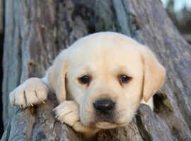 Wanted Labrador retriever puppy