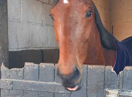 Lovely young Hanoverian x TB