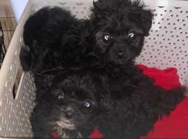 Yorkipoo pups