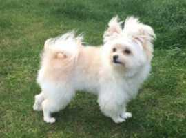 Lovely moltipom pup 8 months old fully housetrained