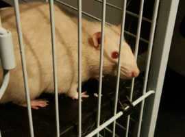 Rehome 2 male rats