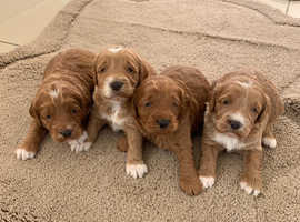 Gorgeous F1 cockerpoo puppies