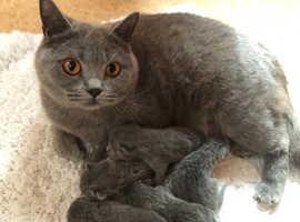 BSH Kittens for Sale