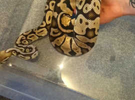 Pastel Royal python female 2 1/2 years