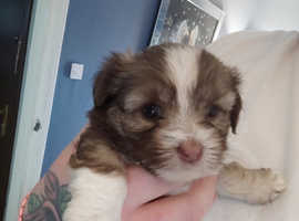 Shorkie puppies 1 girl left first picture
