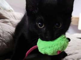 Affectionate kitten ready now