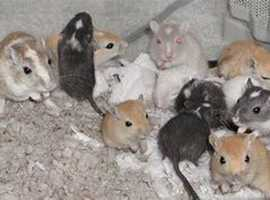 new baby gerbils,ready now.