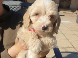 Vet checked Cavapoo Pups available today