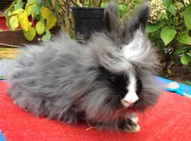 BEAUTIFUL BABY ENGLISH ANGORA X DOUBLE LION HEAD DOE