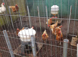 9 hens for sale