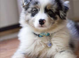 Family looking for a BORDER COLLIE