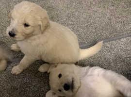 Shepadoodle pups