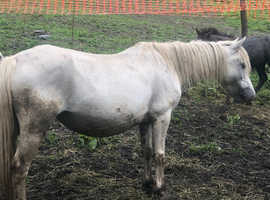 2 registered section a mares with foals at foot