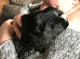 five 8 week old cute and playful crested guinea pigs
