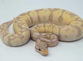 Banana fireflys het orange ghosts ball pythons
