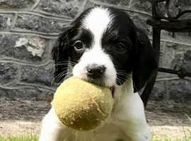 English Springer Spaniels Puppies.